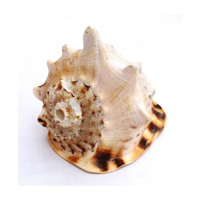CONCH CASSIS