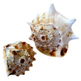 CONCH CASSIS MINI